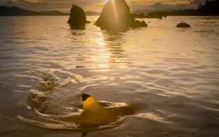 A black-tipped reef shark fin pierces the water off Tetapare at sunset.