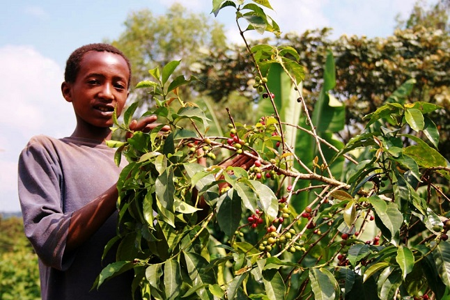 Boy picking ripe coffee beans in the fields. Credit@Yara Tucek via flickr.com