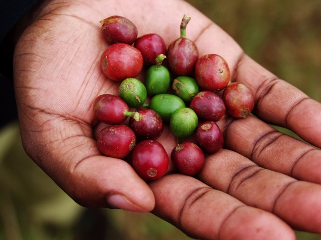 Hand picked coffee beans from the farm. Credit@Rogrio via flickr.com