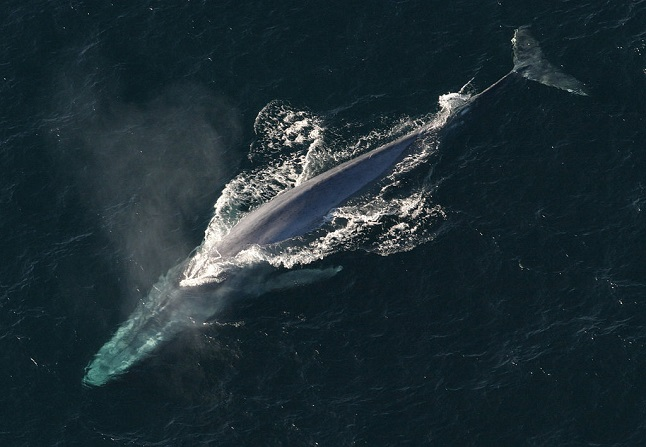 The blue whale. Credit@Noaaviaflickr.com.