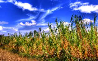 Sugarcane is a source rich in nutrients as well as delicious. Credit@EncinoMan