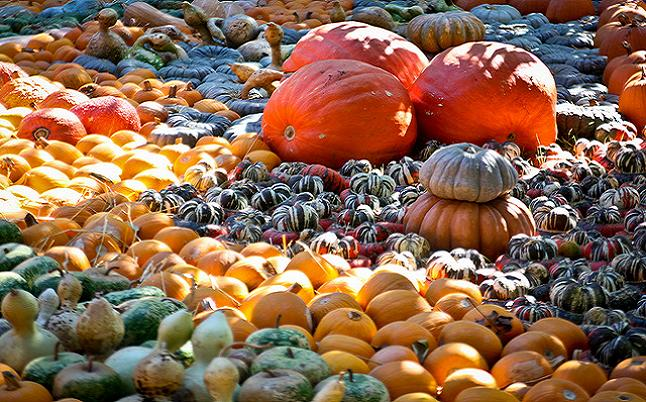 Pumpkins have been synonymous with Halloween since the 10th century. Credit@ Adrian Valenzuela via Flickr.com