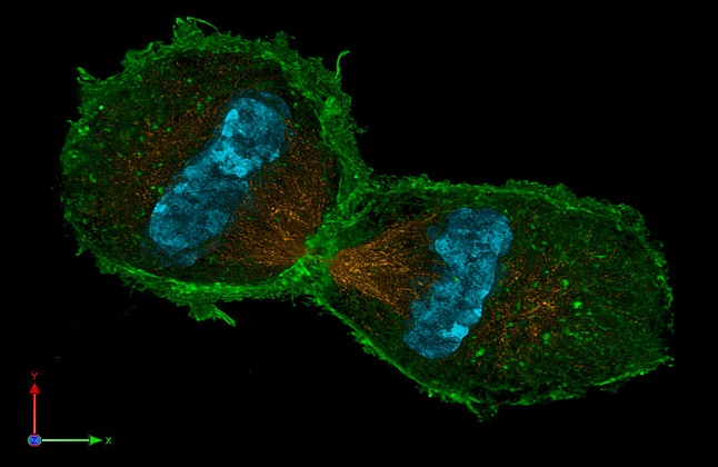 Using nanoscopy to visualise nuclear division in a mouse cell. Credit@Lotharschermelleh.