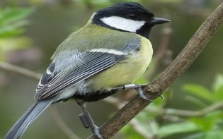 The great tit Parus major, is a passerine bird, widespread throughout Europe. Innovative and an opportunist, this species is an ideal candidate for social learning experiments. Credit©MollyHarwood