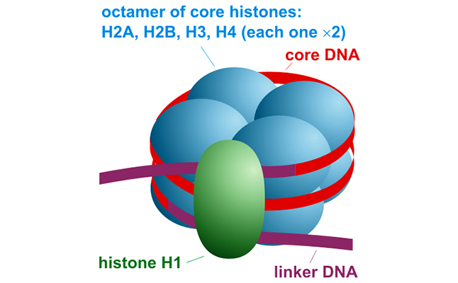 Schema of nucleosome organisation - DNA is wrapped twice around each nucleosome, which is comprised of 8 core histone molecules. Credit@Darekk2/Wikimedia Commons