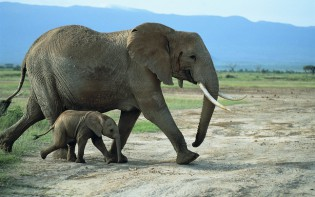 Young Elephant with Mother