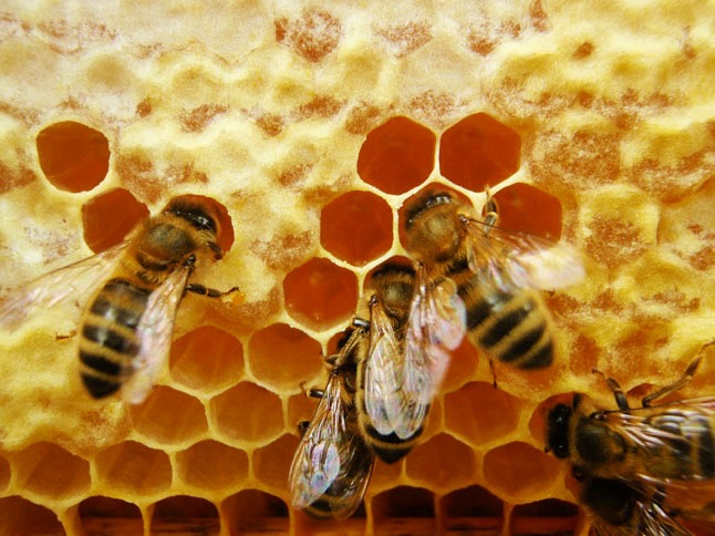 Bees making honey at the hive. Credit@reway2007viaflickr.com.