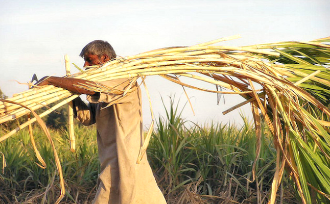 The majority of sugarcane is harvested in hotter, eastern climates. Credit@TanveerSattarviaflickr