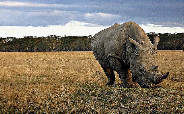 Young Rhino in Nakuru, Kenya. Credit@Franco Pecchio via Flickr.com