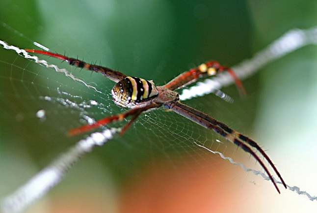 A spider, of the order Aranea,  spinning its web Credits @Brenda Clarke