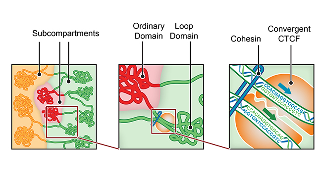 Overview of features revealed by the new Hi-C maps. Left: there are at least six subcompartments, each bearing a distinctive pattern of epigenetic features and residing in its own nuclear neighborhood. Middle: the genome is folded up into small domains of condensed chromatin, whose median length is 185 kb. Right: the genome contains around 10,000 loops. These loops tend to lie at domain boundaries and bind the protein CTCF in a convergent orientation.Credit@SuhasRao/MiriamHuntley/ErezLiebermanAiden