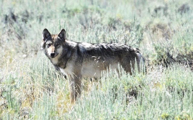 Wolf in Lamar Valley. Credit@wikimedia