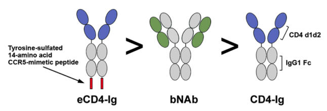 Comparison of the synthetic construct, broadly neutralising antibodies, and the natural CD4 immunoglobulin. Credit@MichaelFarzan