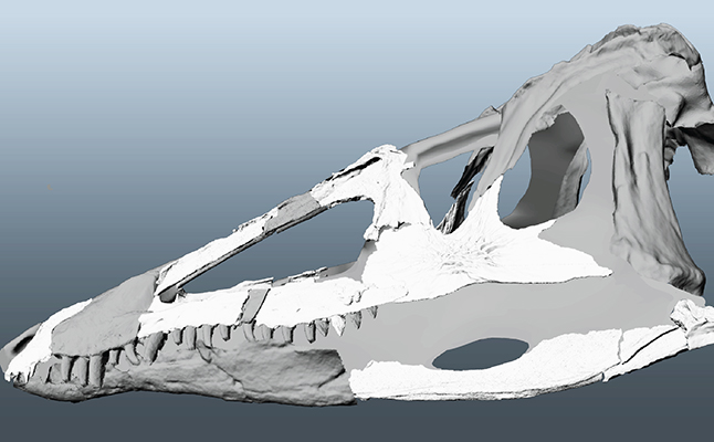 The reconstructed skull - the 3D surface models of skull bones are shown in white, and the gray areas are missing elements reconstructed from close relatives. Credit@LindsayZanno