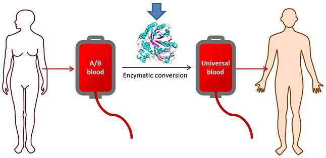 Using the most effective strains of enzyme, type A and B blood may be successfully converted to the more universal Type O. Credit@StephenWithers