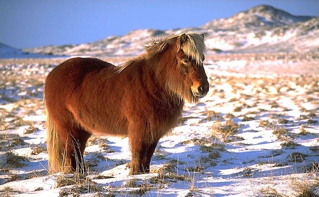 Icelandic Horses credit@Andreas Tille via commons.wikimedia